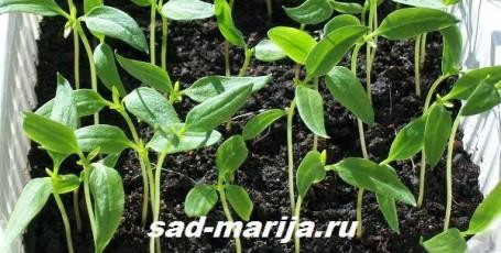 Как сажать перец на рассаду